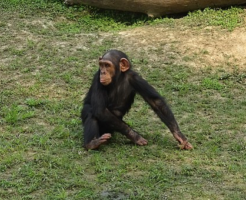 チンパンジー 知能 何歳 高い 低い