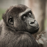 チンパンジーと人間の祖先とは?いつ分岐したのか?
