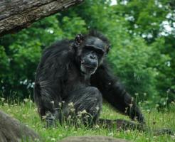 チンパンジー 寿命 野生