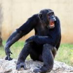 チンパンジーが乱暴に!危険になってしまう年齢とは?
