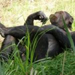 チンパンジーの染色体!数と本数は?