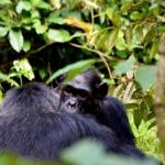 チンパンジーが絶滅の危機!?その理由は?