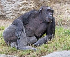 チンパンジー 脳 容量