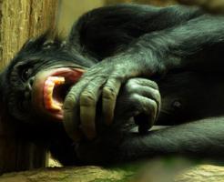 チンパンジー 動物園 危険