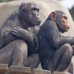 手を叩くチンパンジー!なぜこんな行動をとっているの?