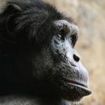 チンパンジーの目に関する話!色の見え方、目の動き!
