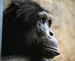 チンパンジー 目 色 見え方