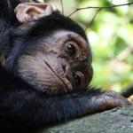 チンパンジーを自宅で飼う方法はないの?問題点は?