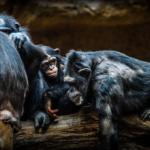 チンパンジーの「争い」に見る!オスとメスの違いとは?