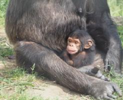 チンパンジー 身長 体重 平均 赤ちゃん