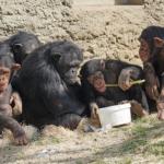 繁殖期のチンパンジーの鳴き声!意味とメスの生存戦略!