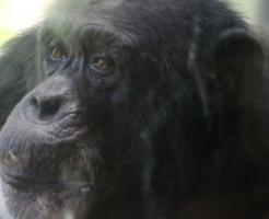 チンパンジー オス メス 習性