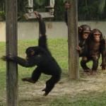 ヒトとチンパンジーが「二足歩行」!獲得した理由!