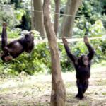 チンパンジーの秘められた運動能力!1つを探ってみよう!