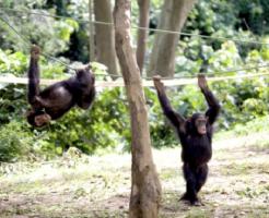 チンパンジー 運動 能力