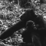 チンパンジーの子育て!オスとメスの役割とは?
