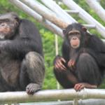 チンパンジーに多い血液型は?ヒトは?性格に関係はあるの?
