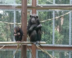 チンパンジー 出産 おしり