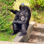 発情期に出てる「おしり」は?チンパンジーの意思疎通?