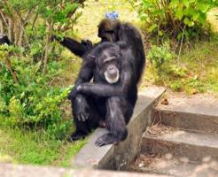 チンパンジー おしり 発情期 出てる