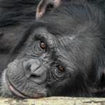 人間のダウン症!チンパンジーが発症することがあるの?