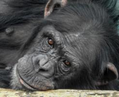 人間 ダウン症 チンパンジー