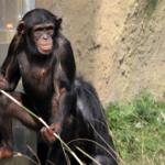 道具を作るチンパンジー!観察してみよう!