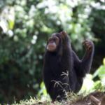 「チンパンジー×豚=人間」!新たな仮説の謎を探ろう!