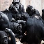 チンパンジーの交配の方法を調査!回数や時間は?