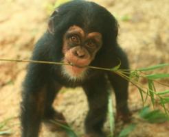 チンパンジー 脳 食べる