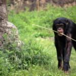 狩りに必要な道具!チンパンジーは、どうやって作製するの?