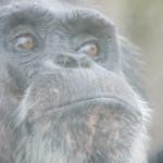 チンパンジーを「理解」で読み解こう!言葉は?識別は?