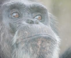 チンパンジー 言葉 理解