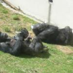 顔色が肌色や黒色のチンパンジーが存在している!理由は?