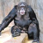 チンパンジーとゴリラと猿!強さと知能の違いは?