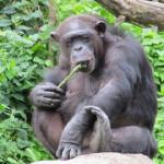 野生のチンパンジー!食べ物は?