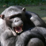 チンパンジーが乱暴になってしまう!理由は?